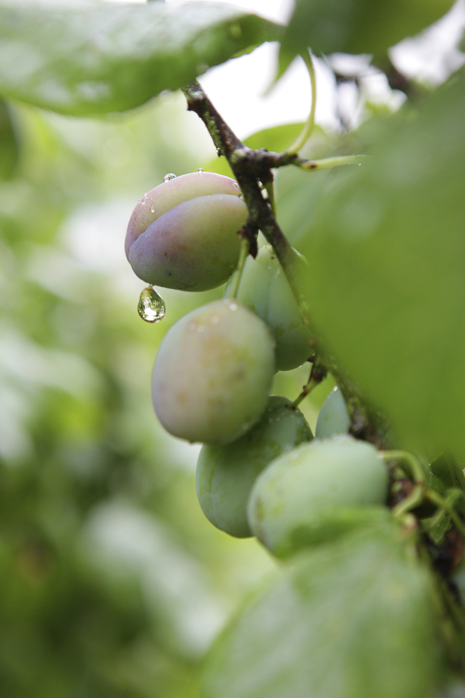 A Photo of some plums