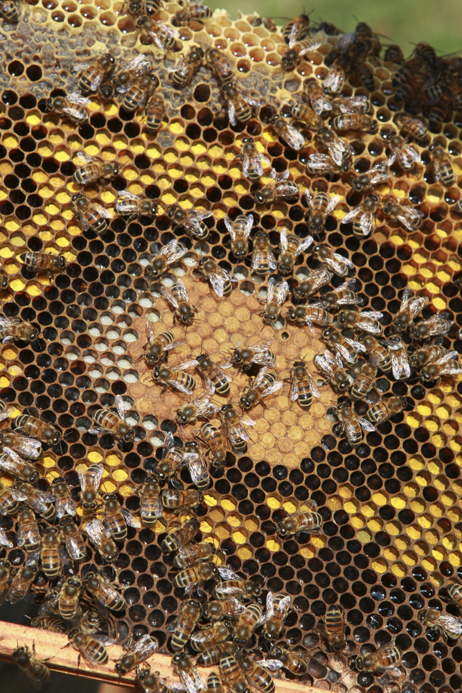 A photo of bees in a piece of honeycomb, showing variations in colour and an interesting honeycomb pattern.
