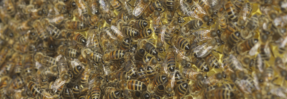 Close up of a bee colony, with bees swarming on the honeycomb.