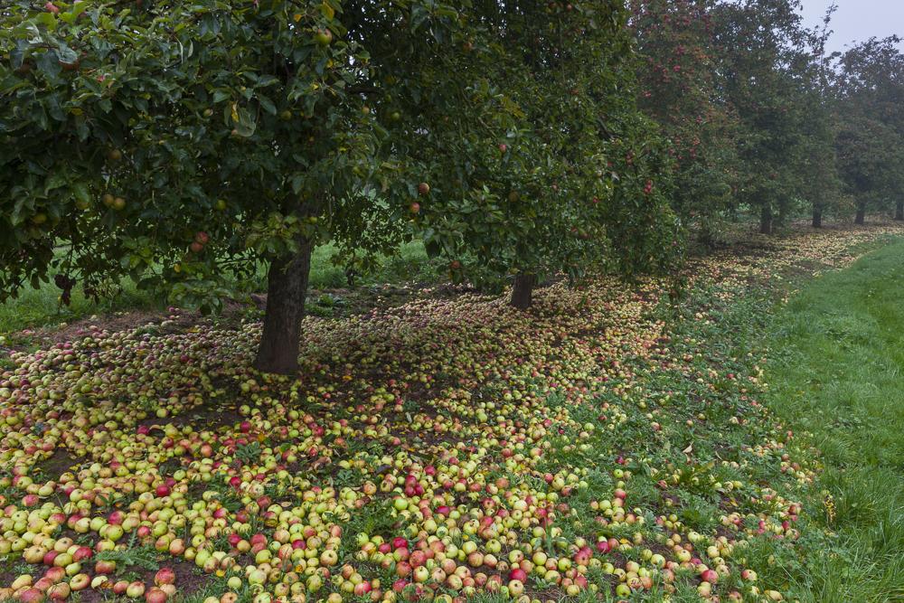 Apple varieties. Apple County Cider