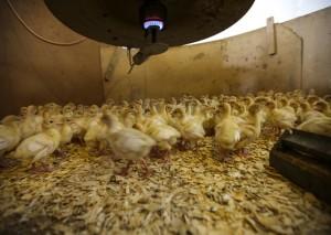 Turkey chicks on the farm